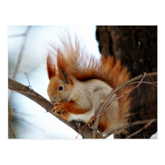 Red Squirrel in Winter Fur Postcard