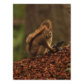 Red Squirrel on Debris Pile Postcard