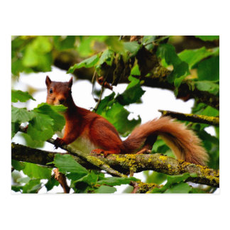 Red squirrel postcard