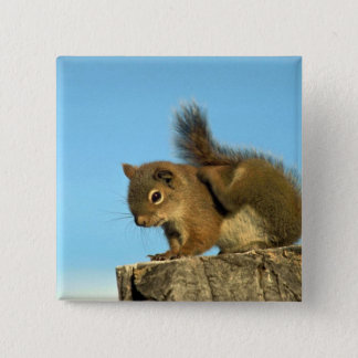 Red Squirrel scratching 2 Inch Square Button