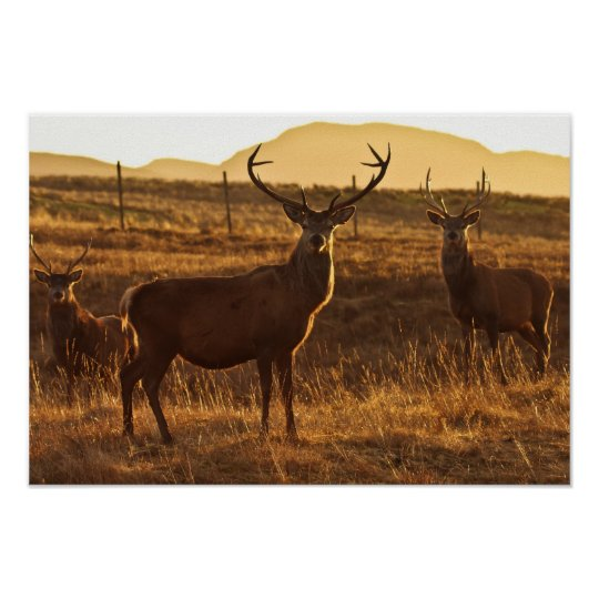Red Stags  Poster/Print Poster