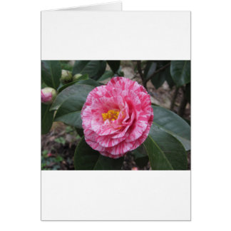 Red streaked white flower of Camellia japonica Card