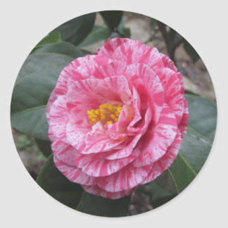 Red streaked white flower of Camellia japonica Classic Round Sticker