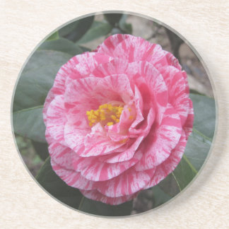 Red streaked white flower of Camellia japonica Coaster
