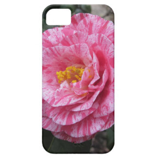 Red streaked white flower of Camellia japonica iPhone 5 Cover
