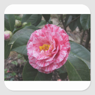 Red streaked white flower of Camellia japonica Square Sticker