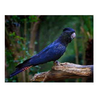 Red-tailed cockatoo bird postcard