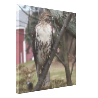 "Red-tailed Hawk Perched on Branch 24"" x 24"" Canvas Print"