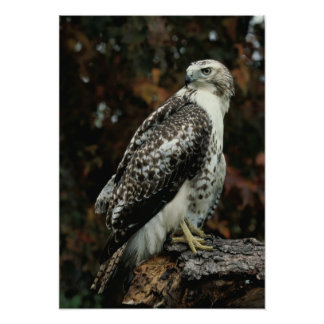 Red Tailed Hawk Photo Poster