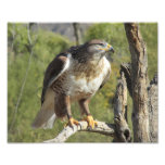 Red Tailed Hawk Photo Print