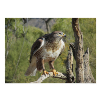 Red Tailed Hawk Poster