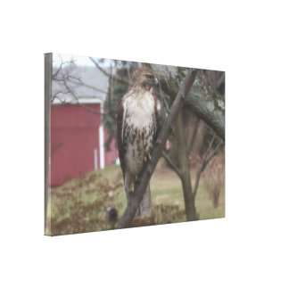 "Red-tailed Hawk Red Barn 36"" x 24"" Canvas Print"