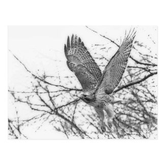 Red Tailed Hawk taking off Postcard