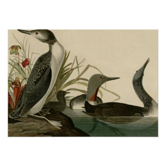 Red-throated Diver Poster