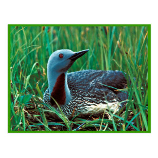 Red-throated Loon Postcard