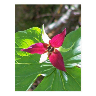 Red Trillium Flower Postcard