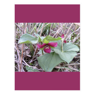Red Trilliums Postcard