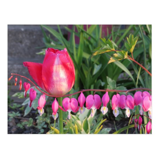 Red Tulip And Pink Bleeding Heart Flowers Postcard