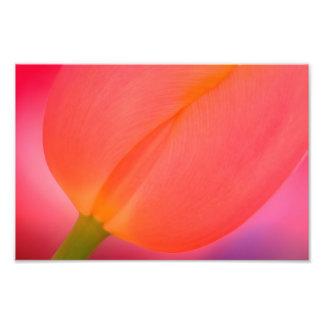 Red Tulip Close-up Photo