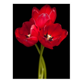 Red Tulip Flowers Black Background Floral Postcard