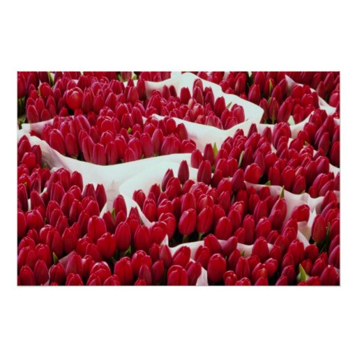 Red Tulips, Amsterdam, Netherlands flowers Poster