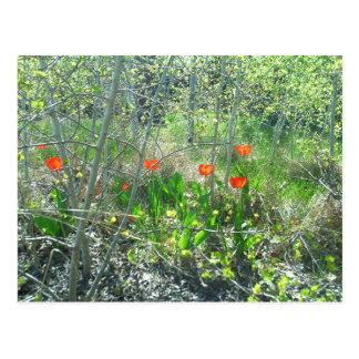 Red Tulips Aspen Trees Postcard | Richland, WA