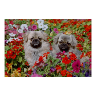 Red Two Tibetan spaniels in flowers flowers Poster
