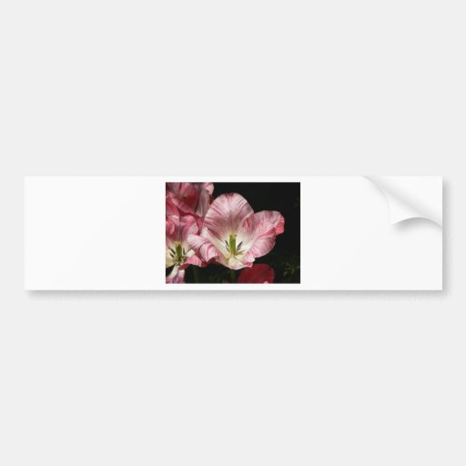 Red White Delight Bumper Sticker