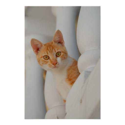 red-white domestic cat between white Palisaden Poster