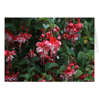 Red & White fuchsia flowers in bloom in garden Card
