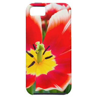 Red white tulip in field of tulips iPhone 5 covers