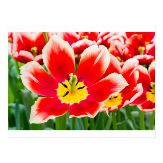 Red white tulip in field of tulips postcard