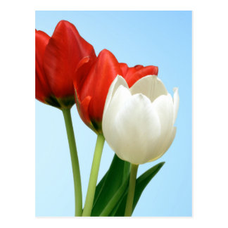 Red & White Tulips Postcard