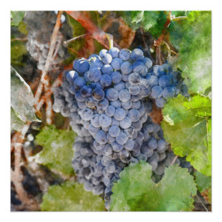 Red Wine Grapes on Vine Perfect Poster