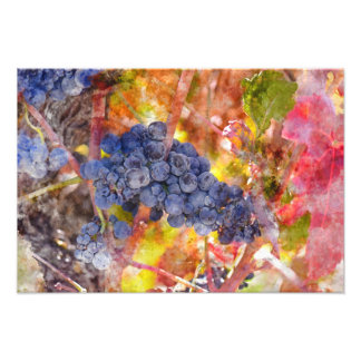 Red Wine Grapes on Vine Photographic Print