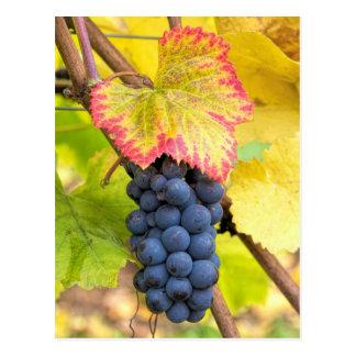 Red Wine Grapes on Vine with Fall Season Foliage Postcard