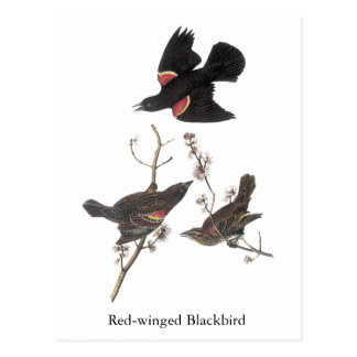 Red-Winged Blackbird, John Audubon Postcard