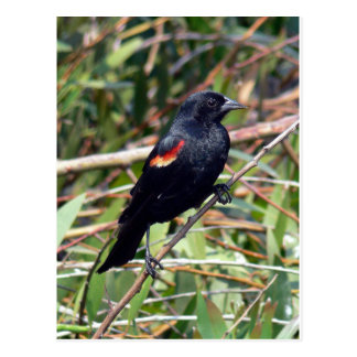 Red-winged Blackbird Postcard
