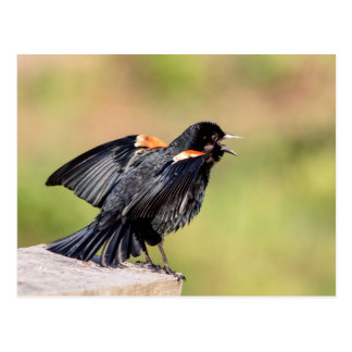 Red Winged Blackbird Singing Postcard
