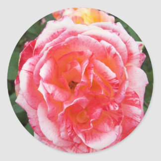 Red with White Edged Rose in Oval Shape Classic Round Sticker