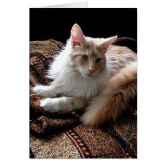 Red with white Maine Coon in the sun Card