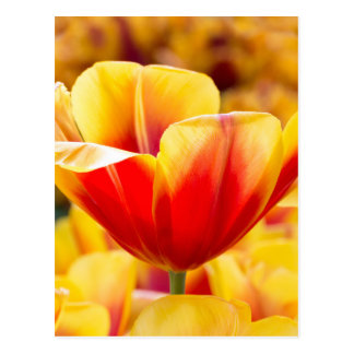 Red with yellow tulip in flowers field postcard