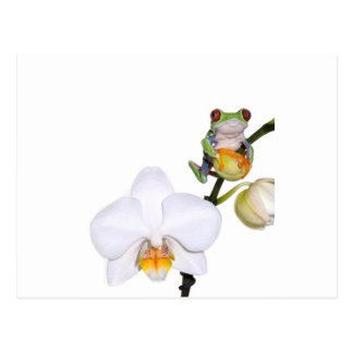 red yed tree frog on orchid postcard