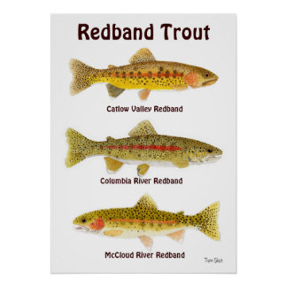 Redband Trout Poster
