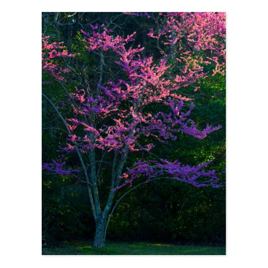 Redbud Tree at Sunset Postcard