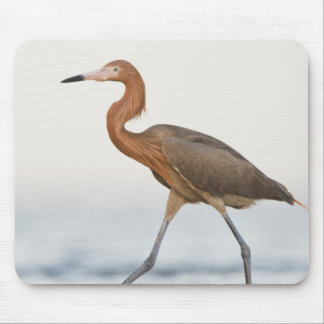 Reddish Egret adult hunting in bay, Texas Mouse Pad