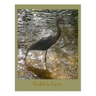 Reddish Egret Postcard