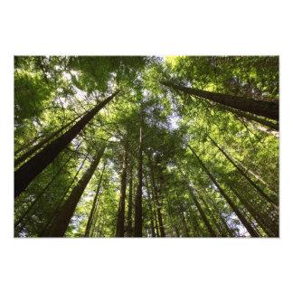 Redwood Forest, Rotorua, New Zealand 2 Photographic Print
