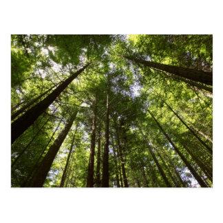 Redwood Forest, Rotorua, New Zealand 2 Postcard