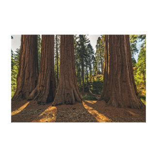 Redwood Giants Canvas Print